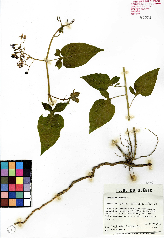 Morelle douce-amère | Herbier du Québec