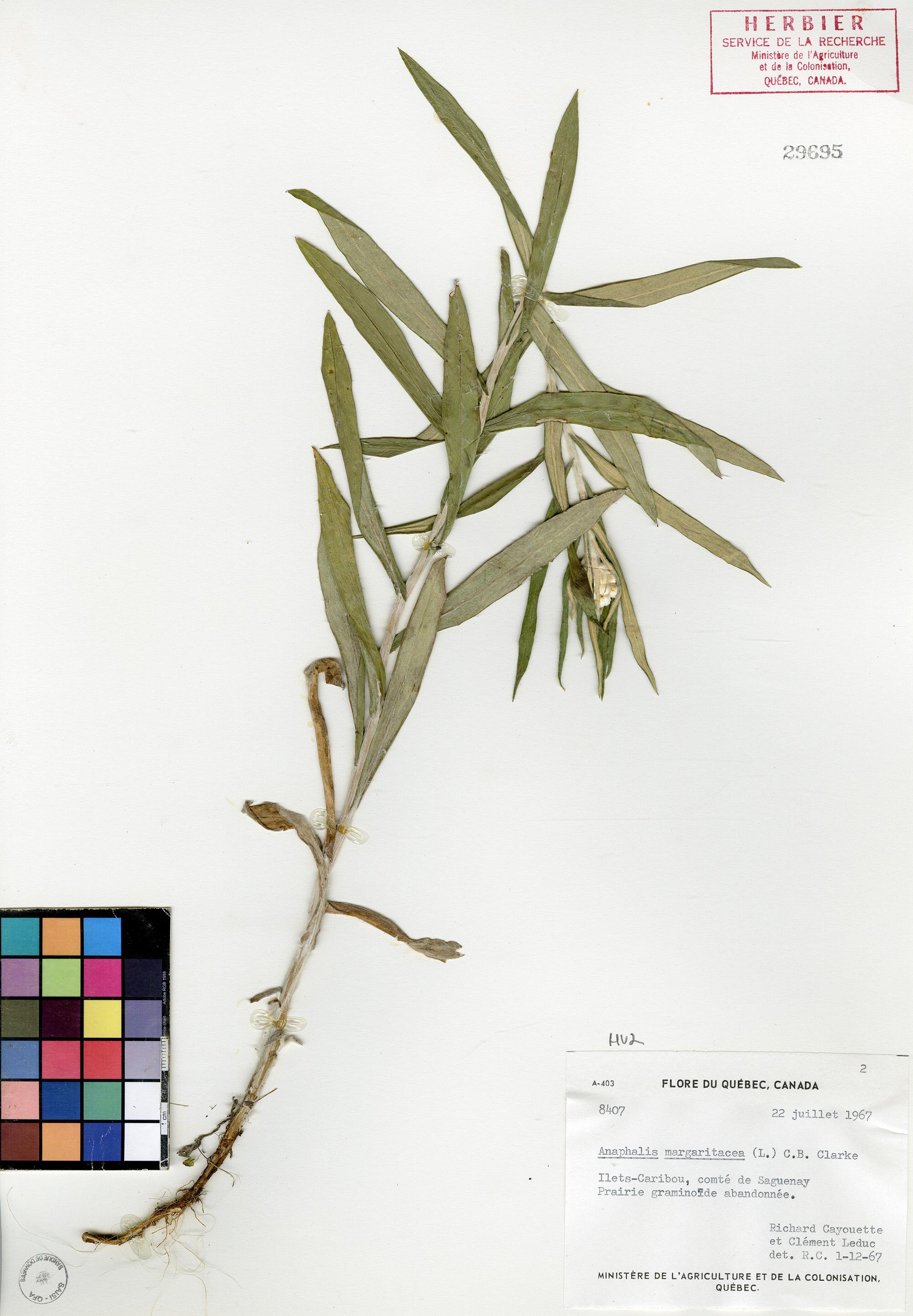 Immortelle blanche herbier du qu bec for Plante immortelle