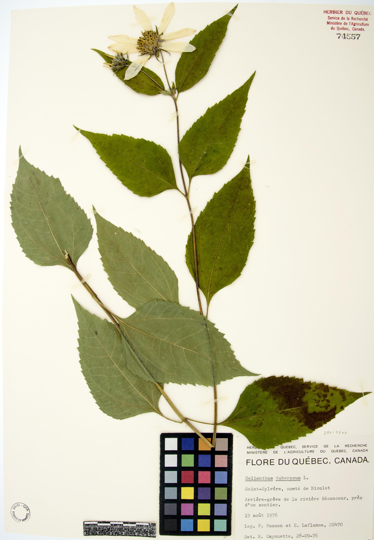 Topinambour | Herbier du Québec